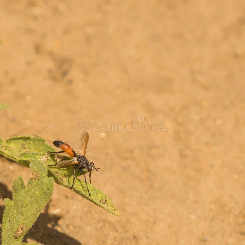 Macro di una mosca parassitaria immagini stock libere da diritti