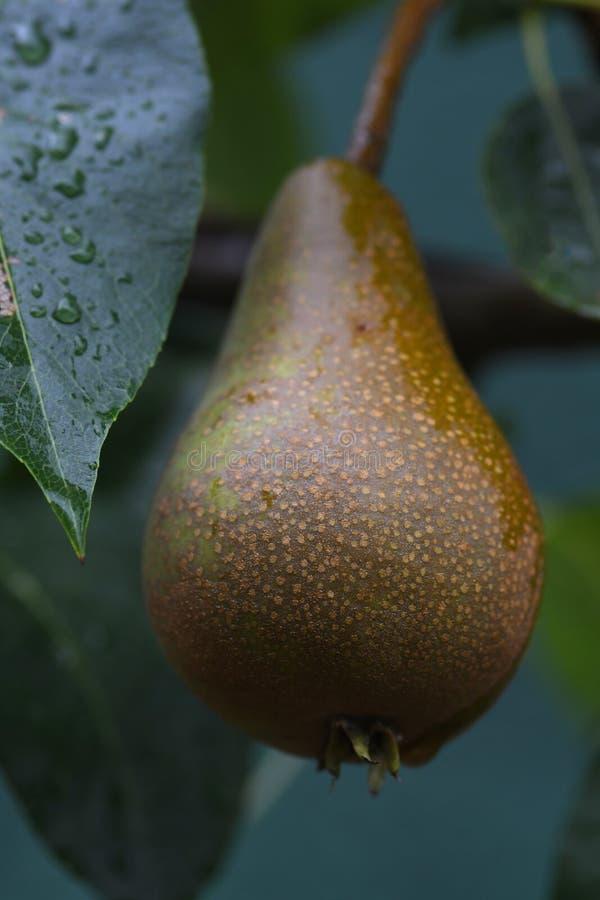 Macro di una pera marrone e verde immagini stock libere da diritti