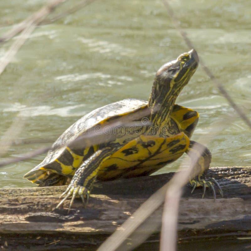 Macro di una tartaruga che scala a bordo di un ceppo fotografie stock