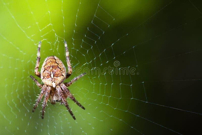 Macro di Web di ragno del giardino immagine stock libera da diritti
