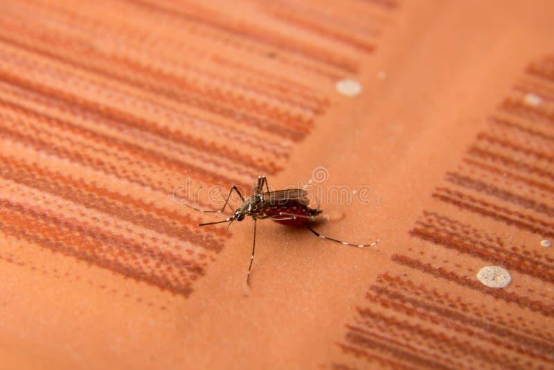 macro di He zanzara che succhia il sangue pieno, zanzara pericolosa, fotografie stock