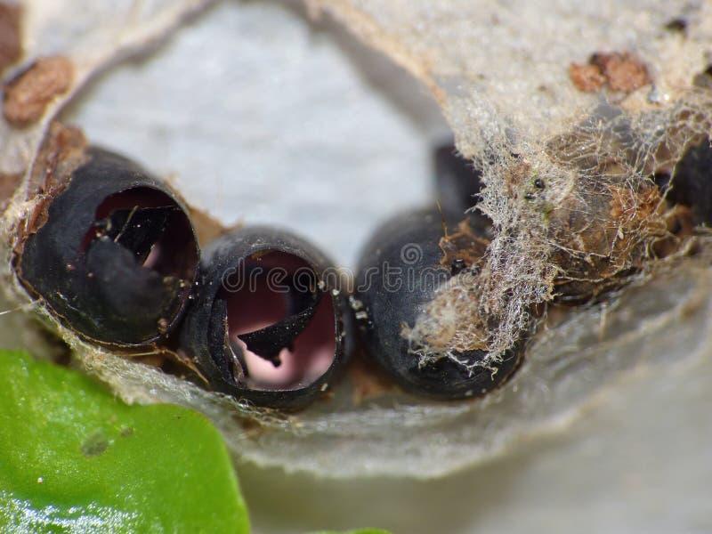 Macro dicht omhoog geschoten van sommige uitgebroede die insecteneieren in Web in de tuin, foto wordt gevonden in het UK wordt ge stock fotografie
