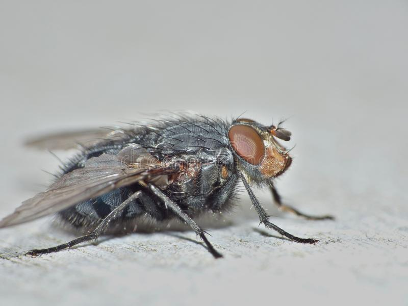 Macro dicht omhooggaand detailschot van een gemeenschappelijke huisvlieg met grote rode die ogen in het UK worden genomen royalty-vrije stock foto