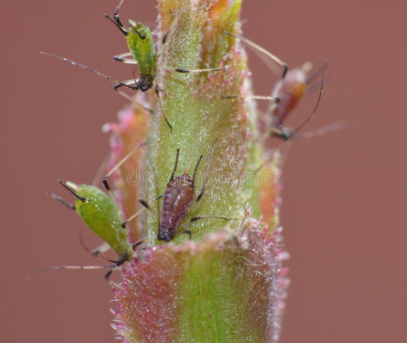 Macro dichte die omhooggaand van bladluis/nimfenfoto in het Verenigd Koninkrijk wordt genomen stock foto's