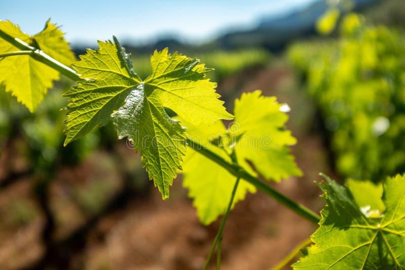 Macro dichte omhooggaand van druivenbladeren met zonnige backlight stock foto's
