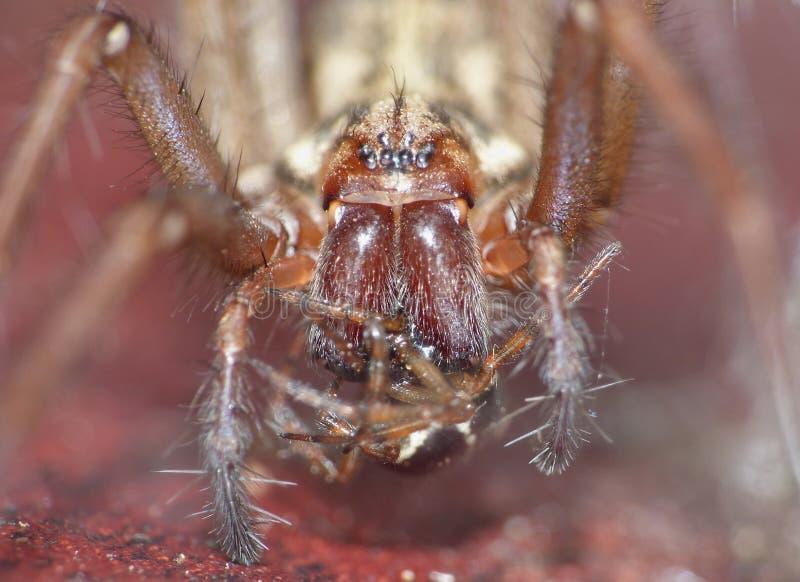 Macro dichte omhooggaand van een spin int. dat tuiniert hij, foto in het UK wordt genomen stock fotografie