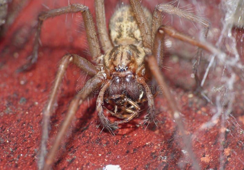 Macro dichte omhooggaand van een spin int. dat tuiniert hij, foto in het UK wordt genomen royalty-vrije stock foto's