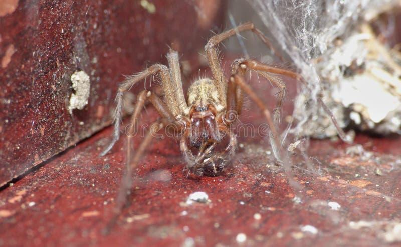 Macro dichte omhooggaand van een spin int. dat tuiniert hij, foto in het UK wordt genomen stock afbeeldingen