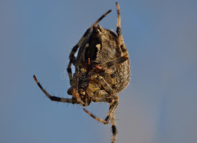 Macro dichte omhooggaand van een spin int. dat tuiniert hij, foto in het UK wordt genomen stock afbeelding