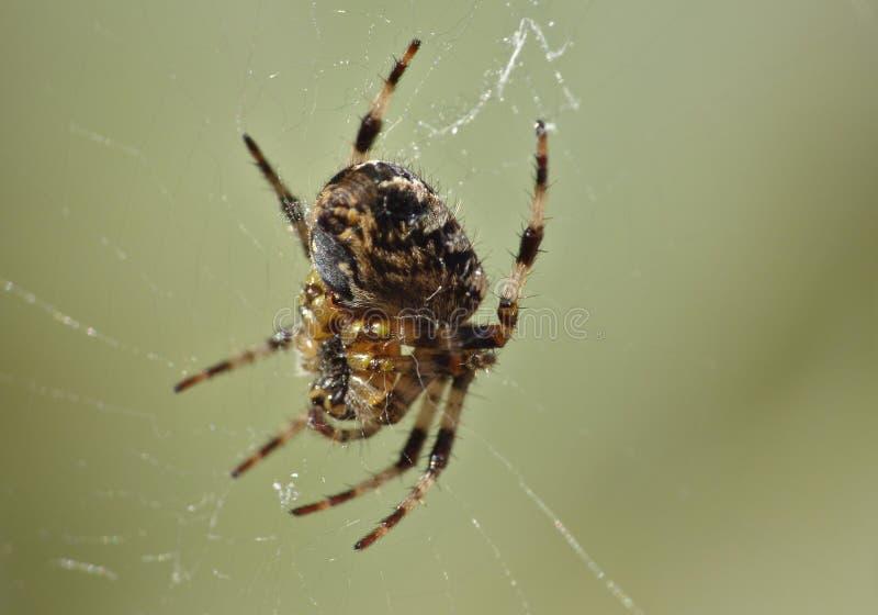 Macro dichte omhooggaand van een spin int. dat tuiniert hij, foto in het UK wordt genomen royalty-vrije stock afbeelding