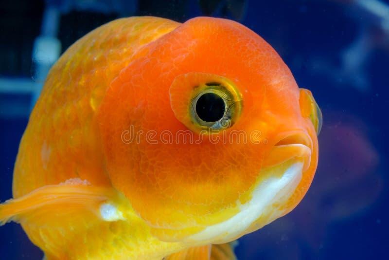 Macro dichte omhooggaande oog en gezichtengoudvis in het aquarium stock fotografie