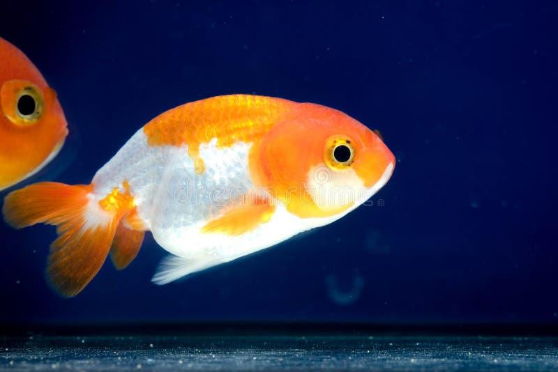 Macro dichte omhooggaande oog en gezichtengoudvis in het aquarium royalty-vrije stock afbeeldingen