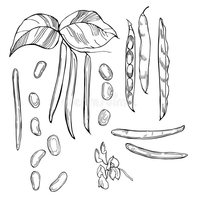 Macro die met ondiepe diepte van gebied van ruwe witte nierbenas wordt geschoten Hand getrokken groenten op witte achtergrond Vec royalty-vrije illustratie