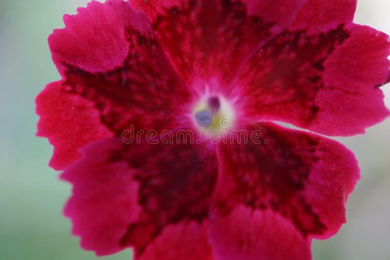 Macro die van een rode hibiscusbloem wordt geschoten op heldere achtergrond stock afbeeldingen