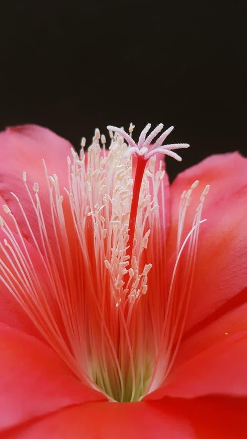 Macro red orchid cactus Disocactus ackermannii stock photo