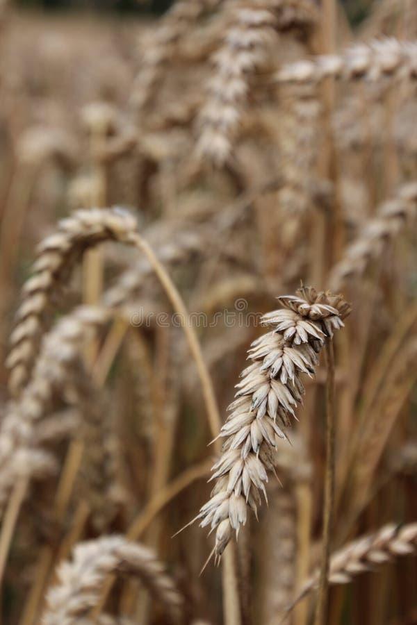 Macro do campo de cereal imagens de stock
