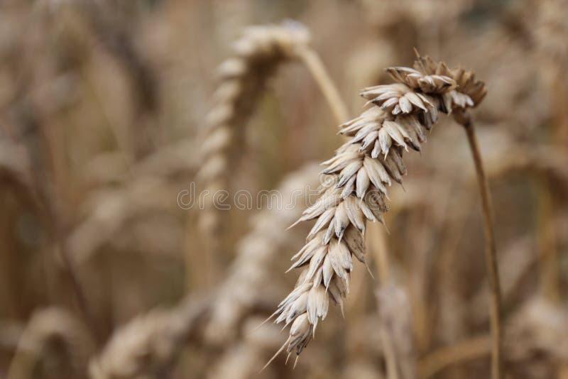 Macro do campo de cereal fotografia de stock