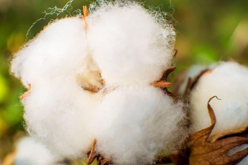 Macro do close up do algodão foto de stock