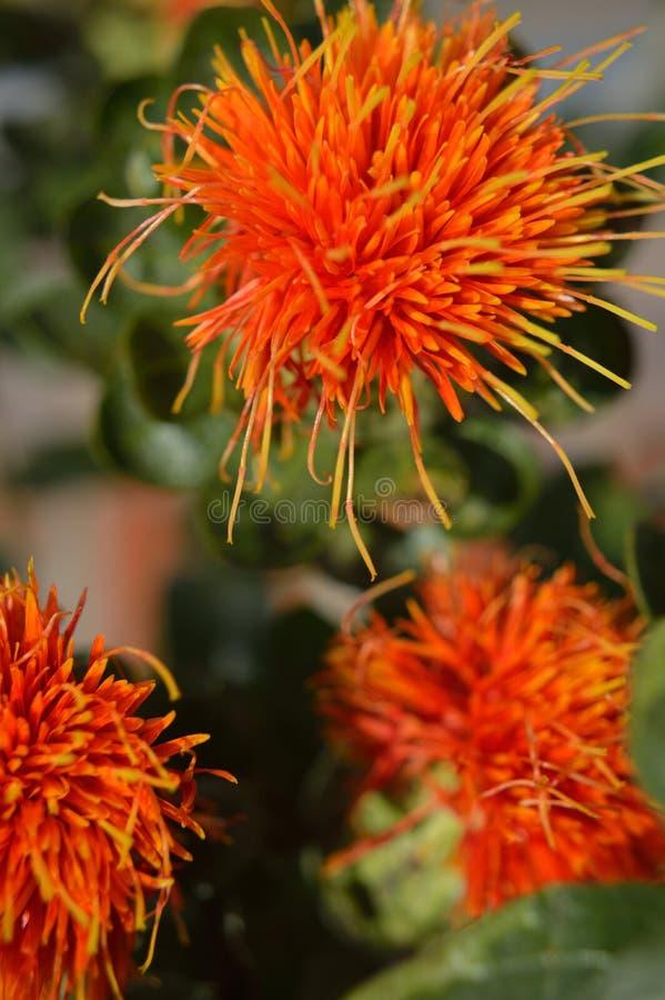 Macro do close up da flor do cártamo fotografia de stock royalty free