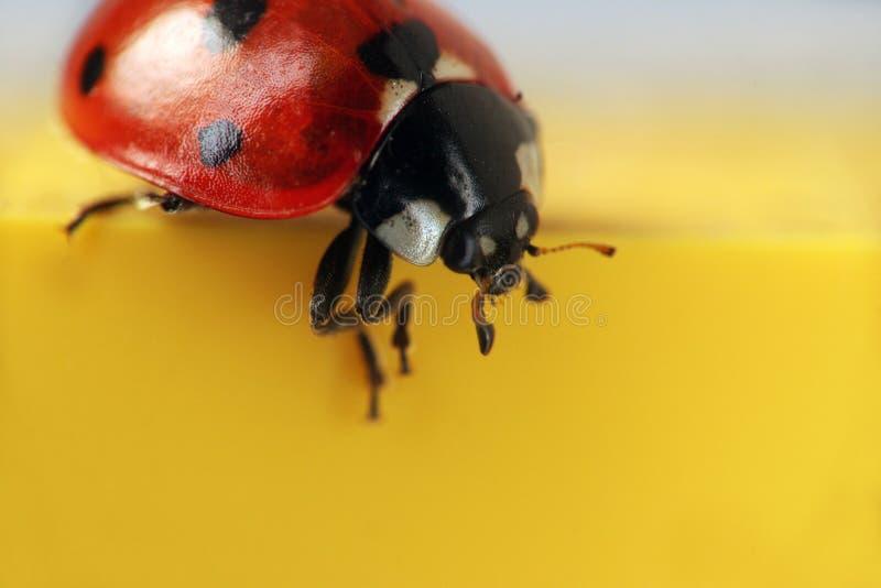 Macro do extremo do Ladybug fotografia de stock