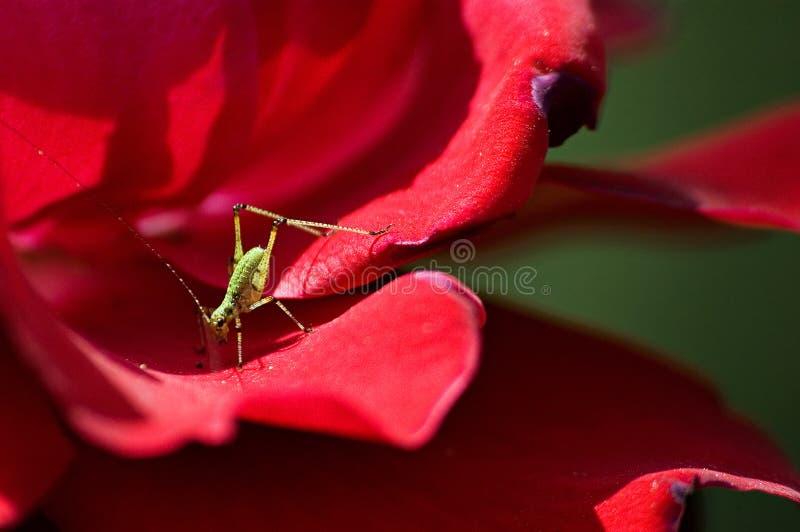 Macro do gafanhoto verde minúsculo na rosa do vermelho fotografia de stock