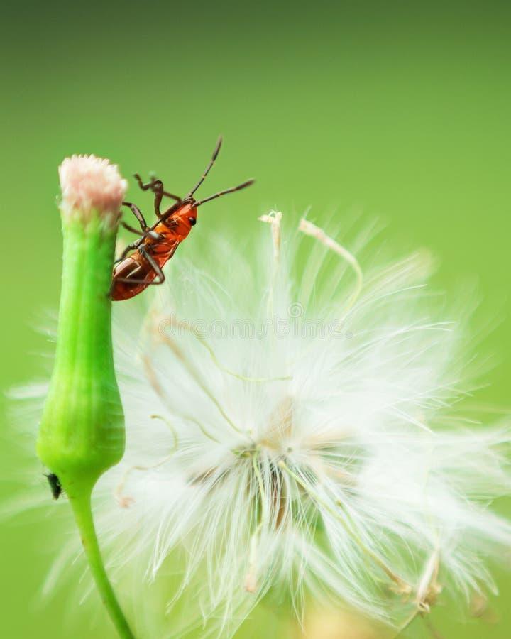 Macro do inseto vermelho na natureza foto de stock