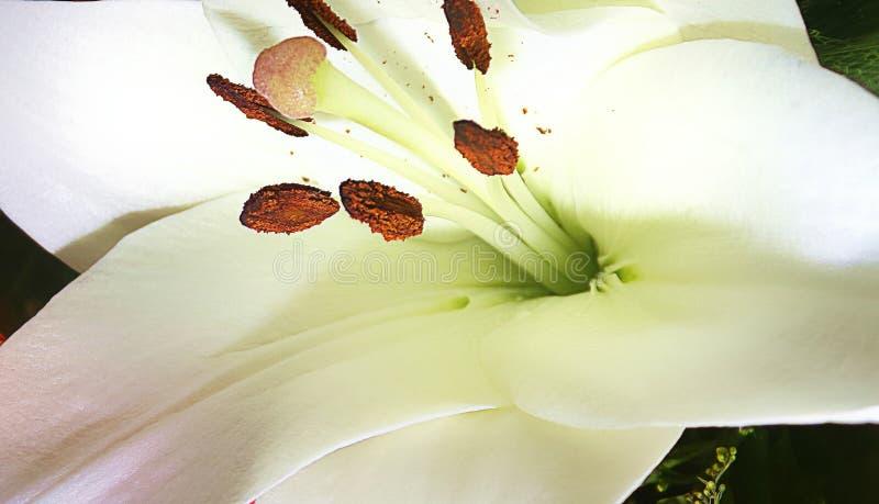 Macro do lírio da flor foto de stock