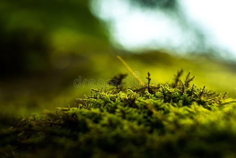 Macro do musgo fresco verde na floresta contra a luz fotos de stock royalty free