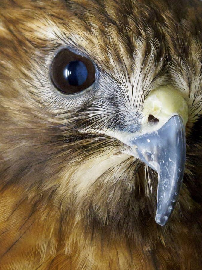 Macro do pássaro do olho e do bico da rapina fotografia de stock royalty free