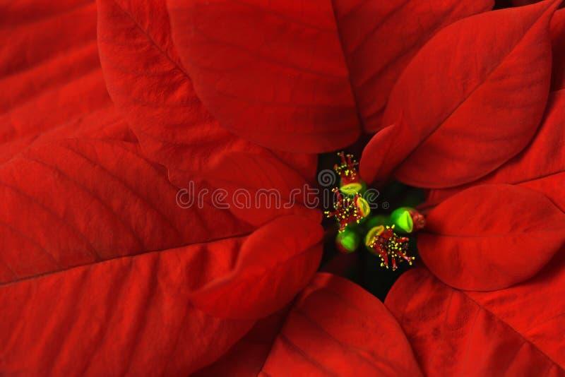 Macro do Poinsettia imagem de stock royalty free