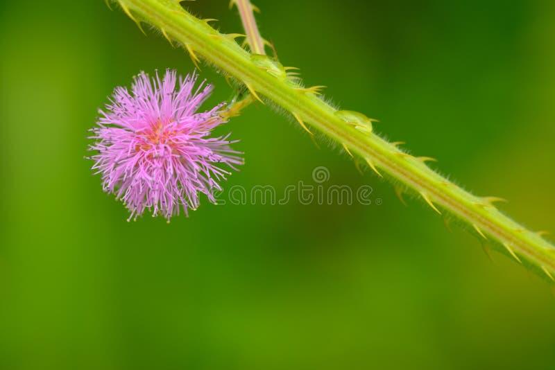 Macro do pudica do Mimosa fotos de stock royalty free