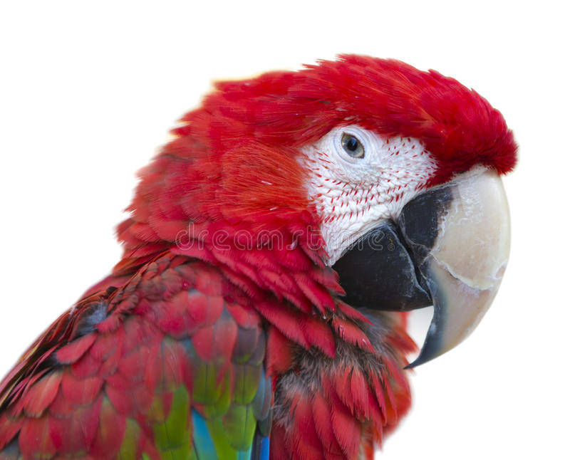 Macro do retrato da arara do pássaro do papagaio imagem de stock
