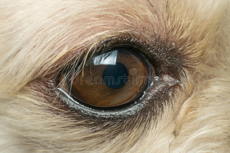 Macro of dog eye. Mixed breed with Shih-Tzu, Pomeranian and Poodle, Beige color royalty free stock photos