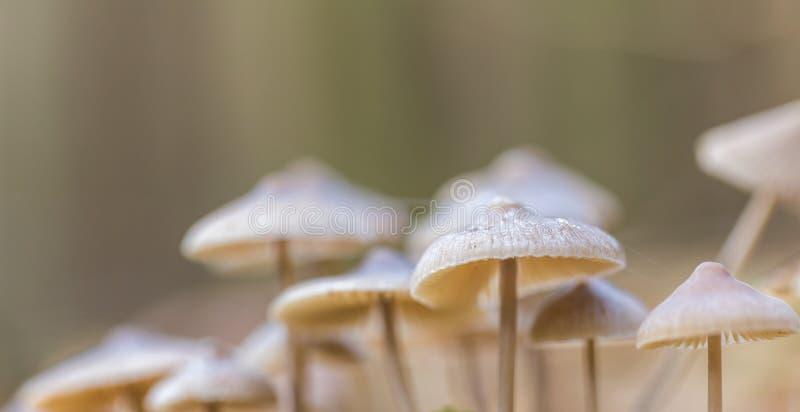 Download Macro Dos Cogumelos Uneatable Pequenos Que Crescem Na Floresta Do Outono Foto de Stock - Imagem de outono, tampão: 80100016