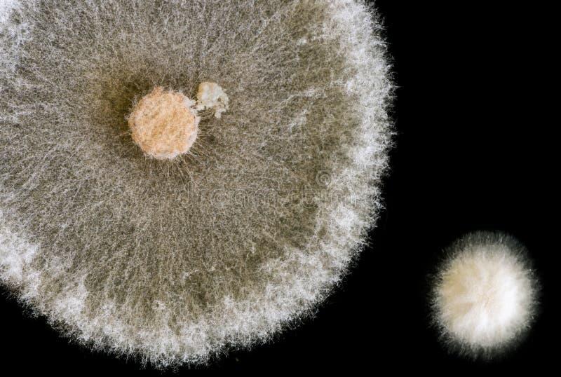 Macro dos fungos no fundo preto fotos de stock royalty free