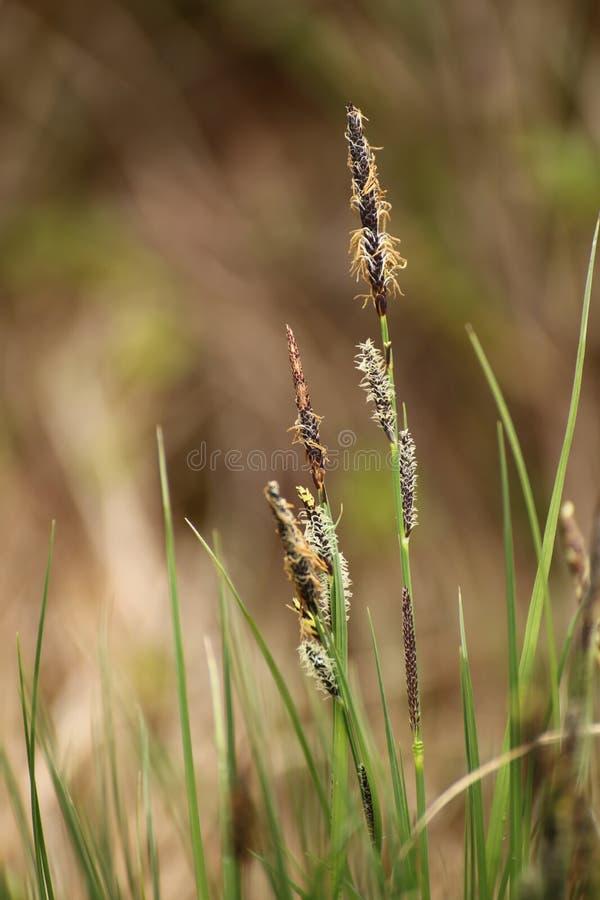 Macro dos pontos do negro do Carex, o carriço comum fotos de stock royalty free