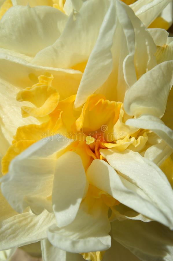 Macro Double Daffodil Narcissus White and Yellow flower royalty free stock images