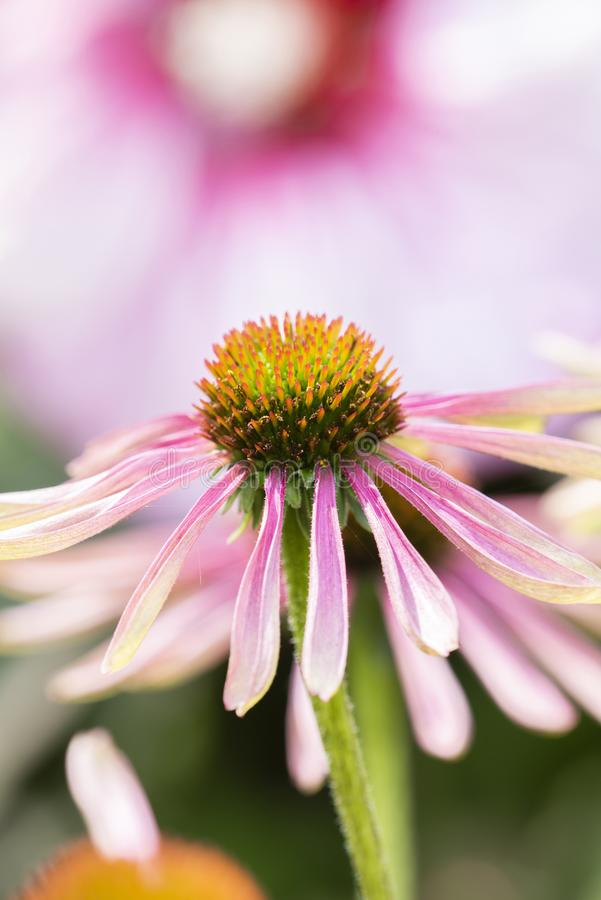 Macro of Double Decker Cone Flower Echinacea royalty free stock images