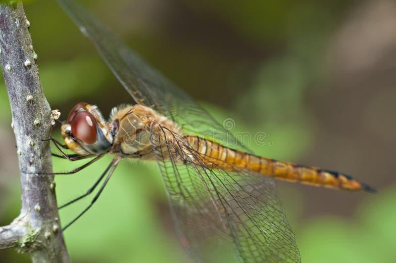 Download Macro Dragonfly stock image. Image of macro, stem, membrane - 16384531