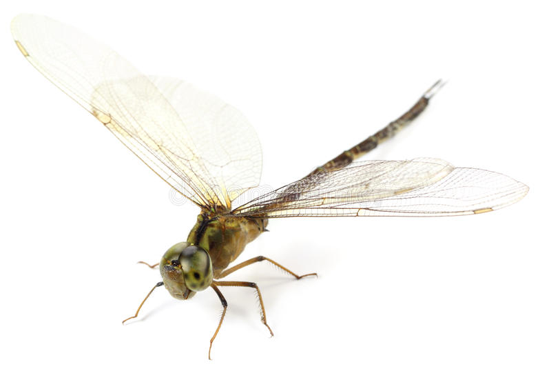 Macro of a Dragonfly. Over white background royalty free stock images
