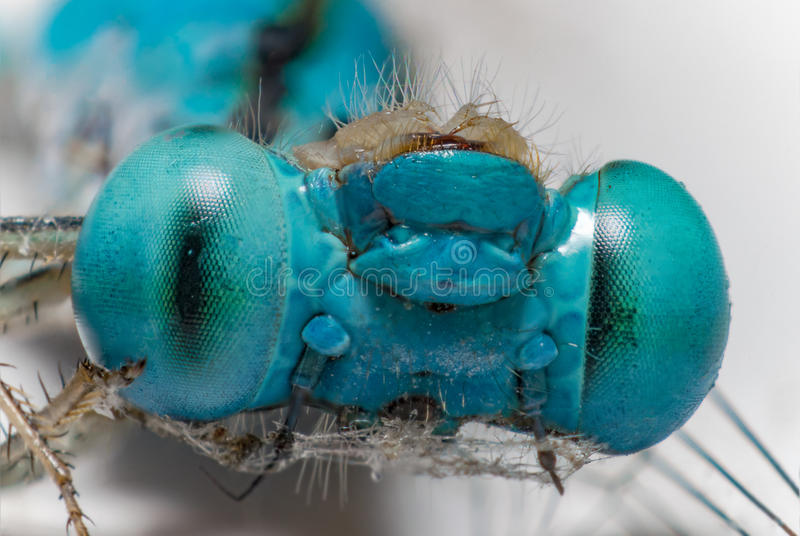 Macro dragonfly. The Beautiful blue eyes dragonfly (Focus eyes faces royalty free stock photo