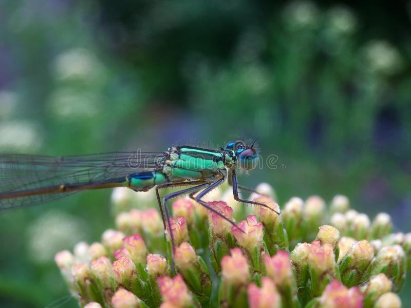 Macro from a dragonfly. On a flower royalty free stock images