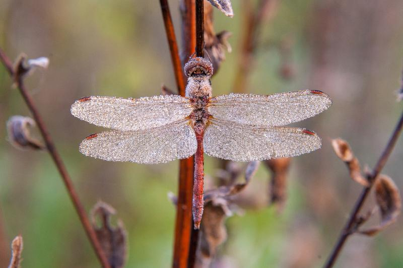 Macro the dragonfly hanging on the dried flower in the dew and frost early morning. Frontal view. Concepts: insects, autumn, winter coming, renovation stock photography
