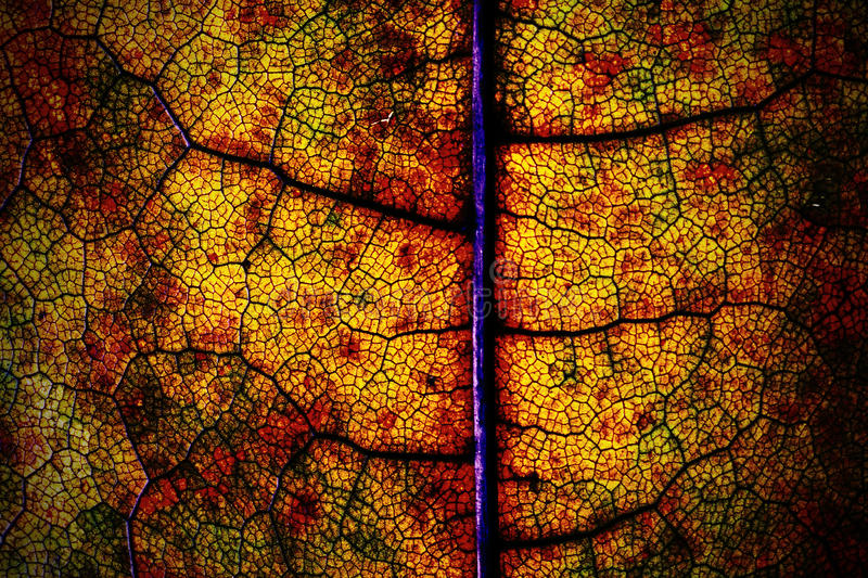 Macro of a dried autumn maple leaf royalty free stock photo