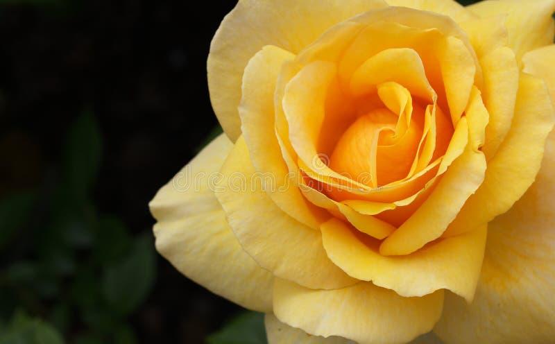 Macro droit jaune-orange de Rose photos libres de droits