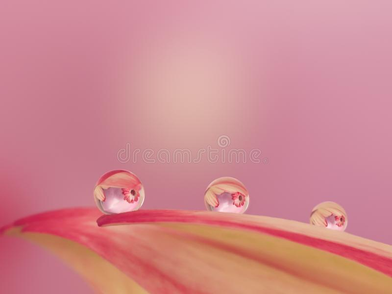 Macro droplets on gerbera petal mirroring other gerbera. Macro waterdroplets ona pink flowerpetal reflecting other flowers stock photography
