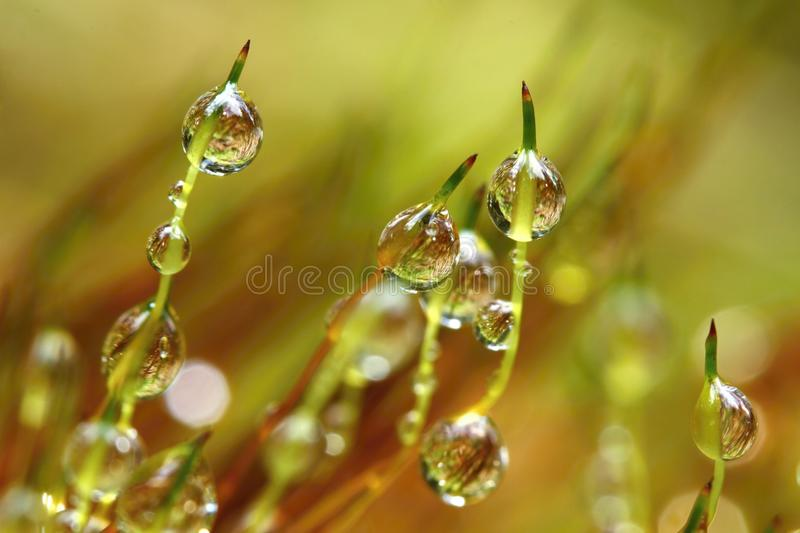 Macro of drops. Fresh green moss with raindrops royalty free stock photo