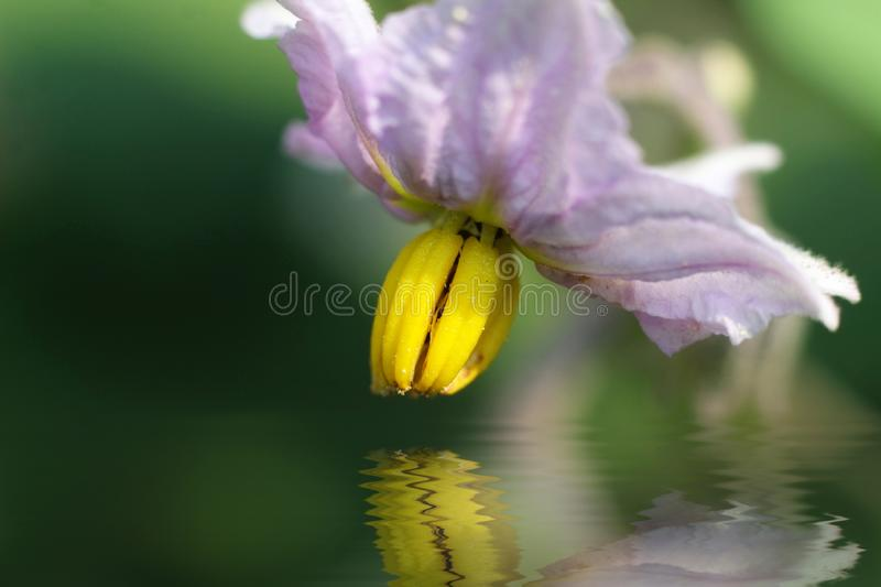 Macro of eggplant flower with water reflection royalty free stock photo