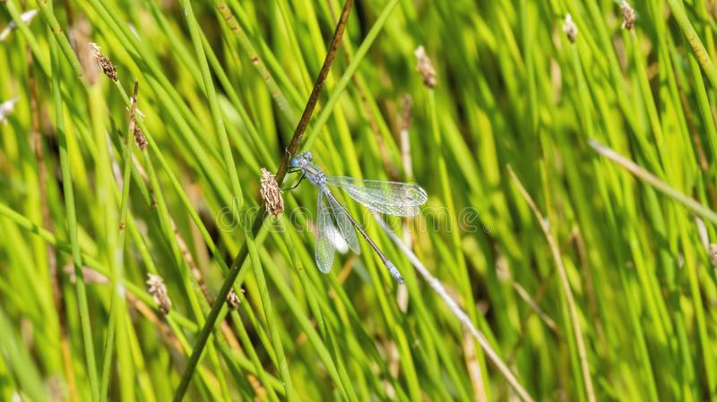 Macro of Emerald Spreadwing Lestes dryas Perched on a Blade of Grass. In a Wet Meadow in Colorado royalty free stock photos