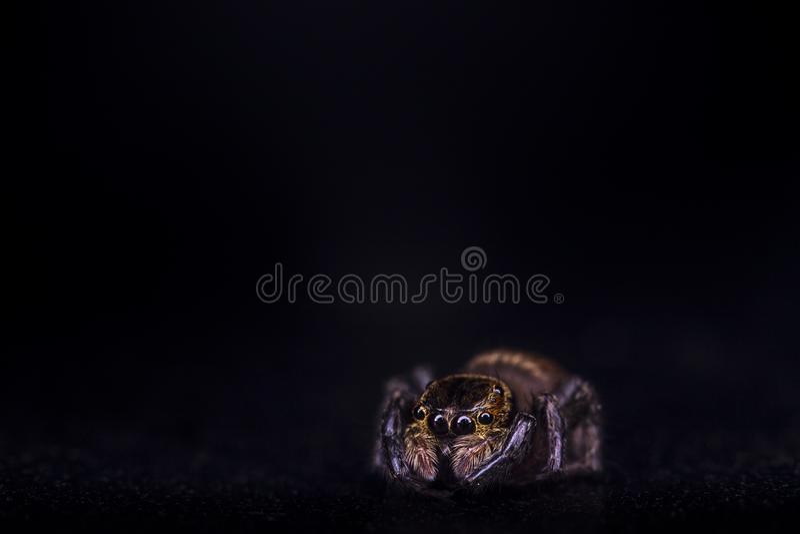 Macro en straignt tropical común de la araña de la casa en la visión frontal con la reflexión en ojos fotografía de archivo libre de regalías